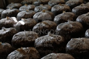 Invernadero Produccion de Hongo Seta México