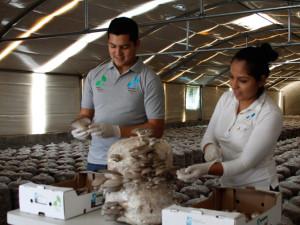 wholesale-produce-oyster-mushroom-hongo-seta_04b