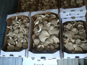 wholesale-produce-oyster-mushroom-hongo-seta_06b
