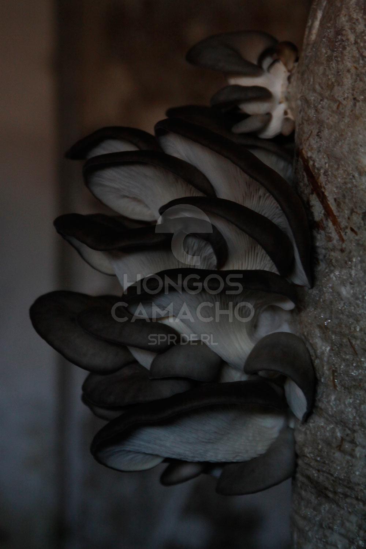 Venta de Hongo Seta México