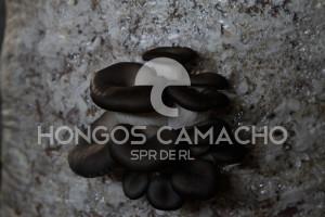 Productores de Hongo Seta en México productor mexicano