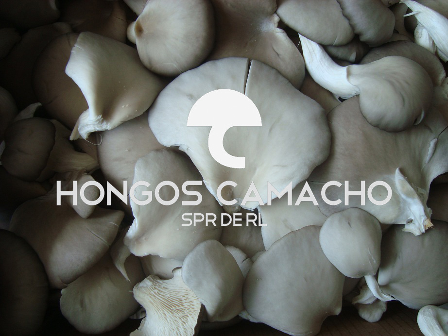 Productores de Hongo Seta productor Hongo Seta en México