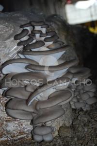 Micelio de Hongo Seta en México