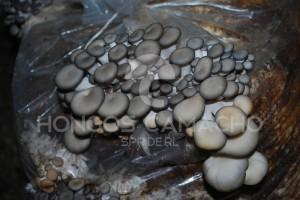 Bolsa inoculada con micelio de Hongo Seta - México