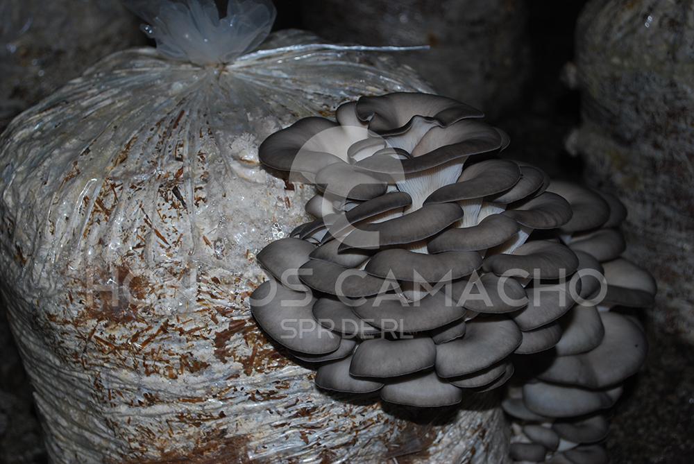 Cultivo de hongo seta