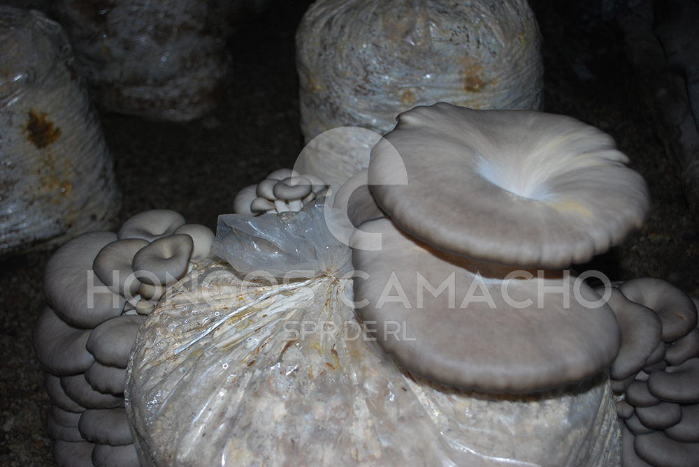 Hongos Camacho - Productores de hongo seta